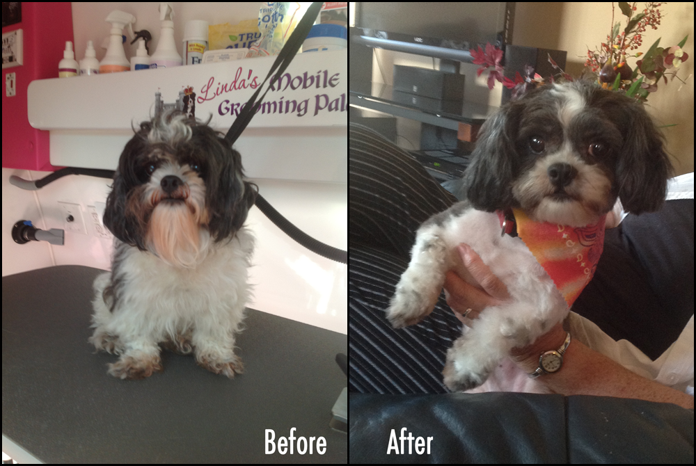 Pet Grooming Before & After Pics - Tebo the ShihTzu