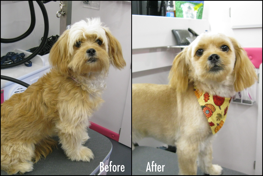 Grooming Before Amp After Pics Benji